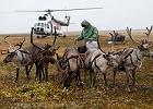 Rosja: Są plany wybicia 250 tys. reniferów z powodu epidemii wąglika