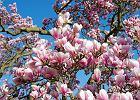 Królowa wiosny, czyli jej wysokość magnolia