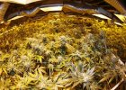 Marihuanowy raj w Kolorado zagro�ony. Nebraska i Oklahoma id� do s�du