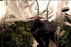 Policja z Poznania zlikwidowała plantację marihuany