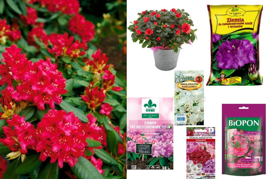 Rododendron, nasiona oraz ziemia