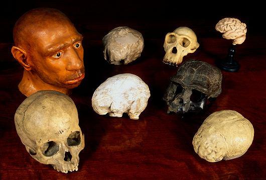 Pośrodku i z dołu po lewej: czaszka i odlew mózgoczaszki Homo sapiens. U dołu po prawej: czaszka i odlew mózgu Homo erectus. U góry po prawej: czaszka i mózg szympansa. U góry po lewej: rekonstrukcja czaszki i mózgu neandertalczyka.
