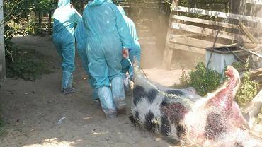 'Ranczo Kupała', świniodziki i świnie odstrzelone w mini zoo