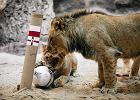 Euro 2016: Lew Arco już wie, która drużyna wygra. Polska czy Irlandia Północna? [WIDEO]
