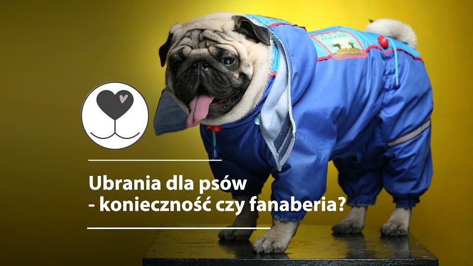 6b7f62e5e9a77 Ubrania dla psów - konieczność czy fanaberia? Próżność właściciela czy  zdrowie psa? [WYJAŚNIAMY]