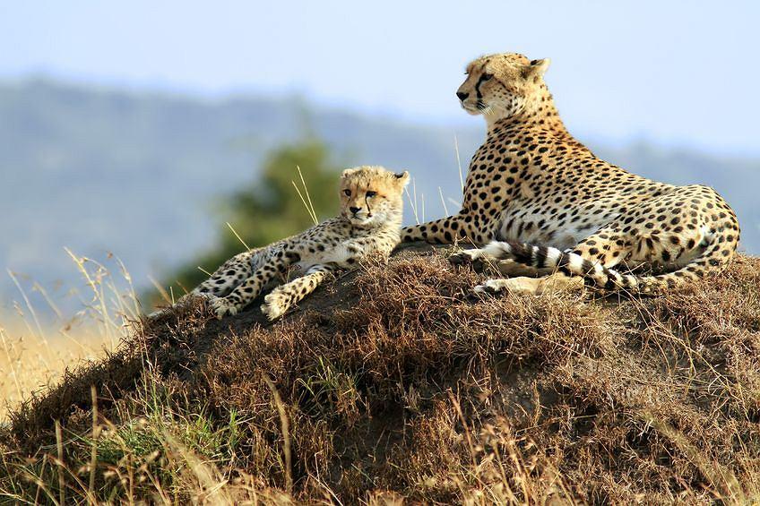 Gepardy są tak podobne genetycznie, że podczas przeszczepów ich organizmy są niczym klony