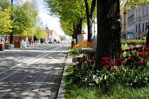 Przy betonowej alei kwiatowej  wyrosły kwiaty. Tulipany o niezwykłych barwach