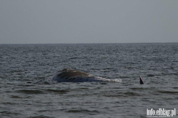 Martwy wieloryb w Ba�tyku. 100 metr�w od brzegu