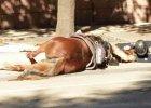 Policjant towarzyszy umierającemu koniowi w ostatnich chwilach. Wzruszające zdjęcie obiegło sieć