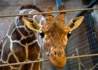 Po zastrzeleniu w Kopenhadze �yrafy pytamy o sens istnienia zoo