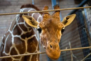 Kolejna �yrafa o imieniu Marius mo�e zosta� zabita w du�skim zoo