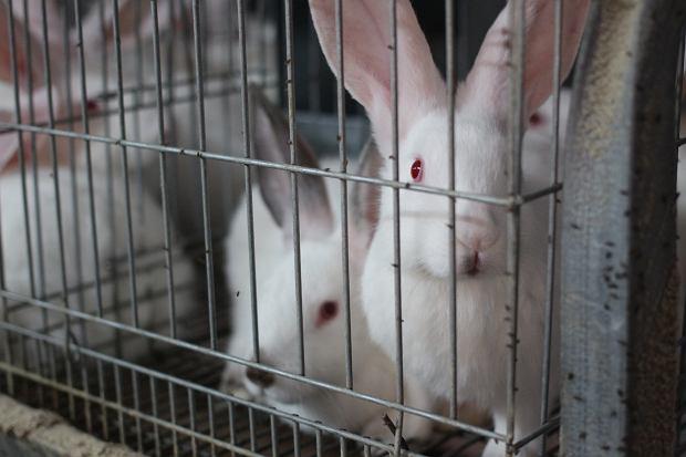 Europosłowie chcą poprawić los królików. Koniec hodowli w klatkach coraz bliżej