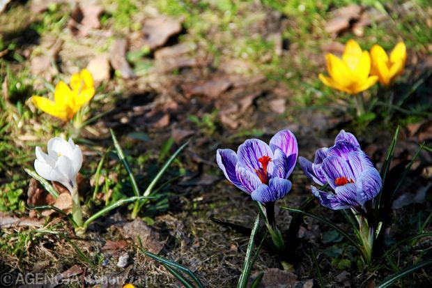 Krokusy kwitnące we Wrocławiu