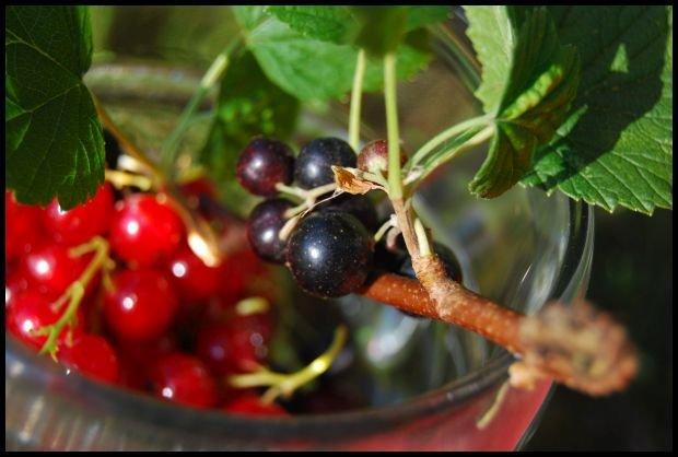 Porzeczki z własnego sadu to jest to! fot. Dominika Węcławek