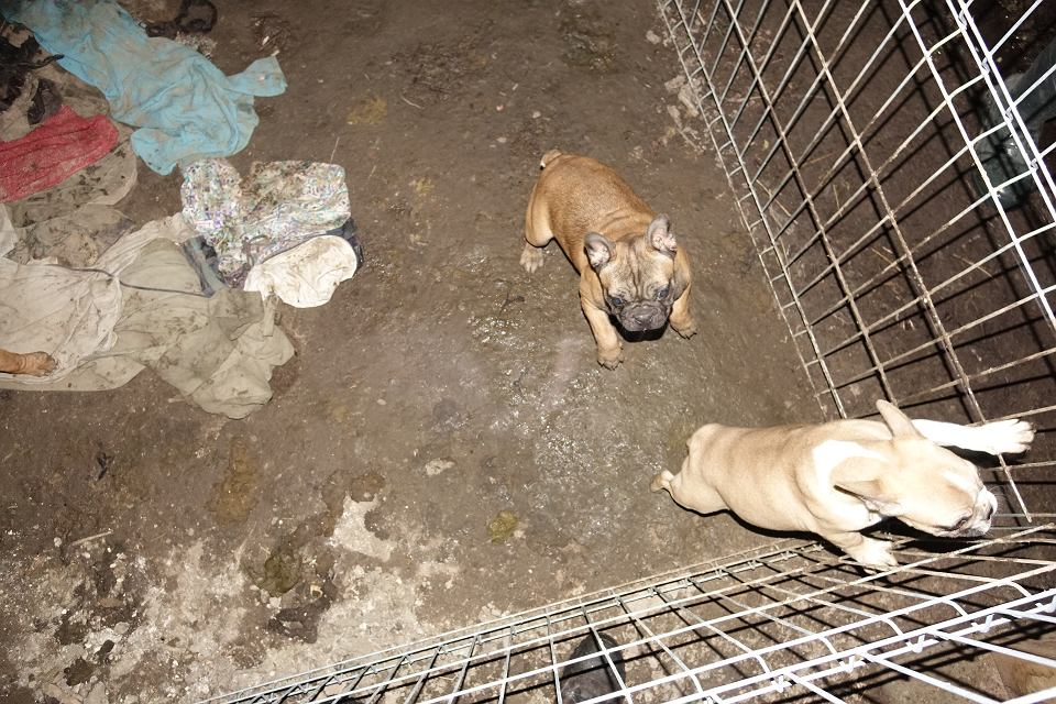 Poważnie Fabryka psów w kurniku. Chore buldogi miały iść na sprzedaż [ZDJĘCIA] XE32