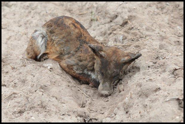www.podlasie24.pl/wiadomosci/siedlce/zwierzeta-ofiarami-wypalania-traw--11efc.html