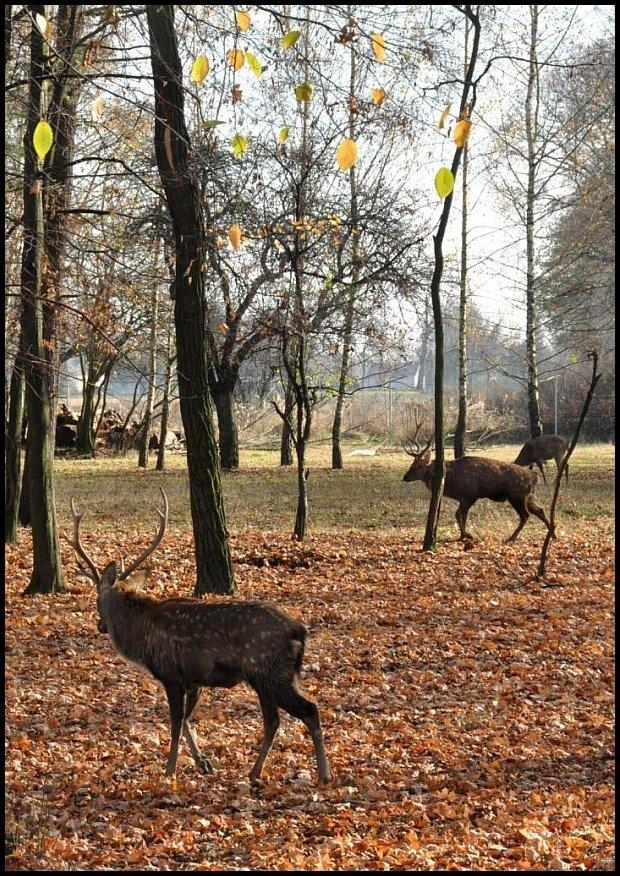Hodowla jeleni sika w Niwkach koło Zalipia/fot. Inaa