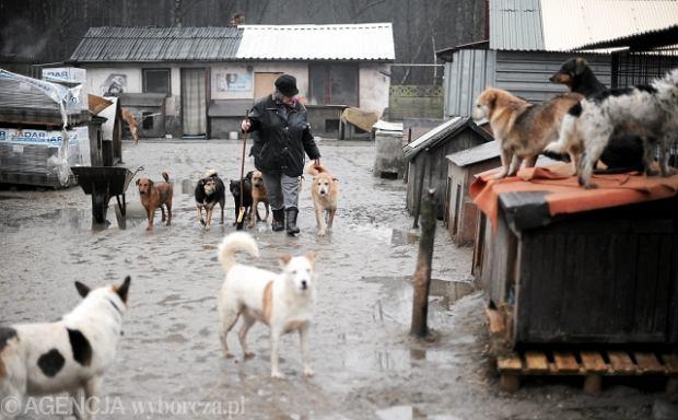11.02.2011 CELESTYNOW , SCHRONISKO DLA BEZDOMNYCH PSOW . KIEROWNICZKA SCHRONISKA IZABELA DZIALAK . FOT. FILIP KLIMASZEWSKI  / AGENCJA GAZETA