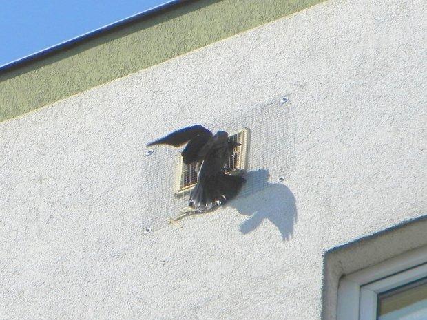 Uwięziona kawka w bloku na Ursusie. Została uratowana przez Ptasi Patrol.