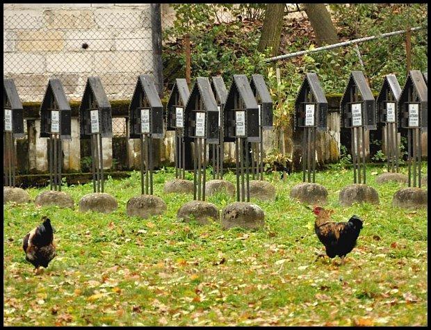Szczęśliwe kurki z wolnego wybiegu jako stołówkę traktują również cmentarze. Tutaj na cmentarzu nr 252 w Otfinowie. Pochowani żołnierze armii austro-węgierskiej, niemieckiej i rosyjskiej