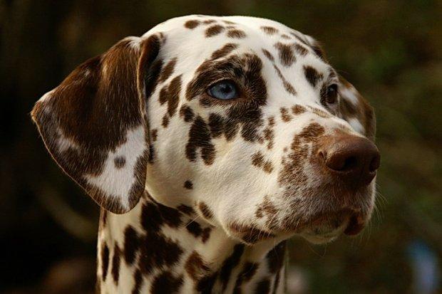 Ile krzyżówek, żeby oko było niebieskie, a sierść brązowa? (fot. Wikimedia Commons CC0)