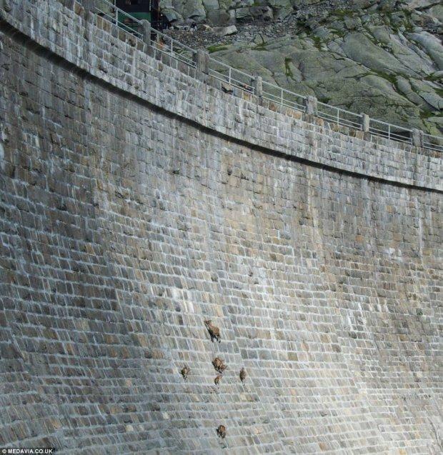 Alpejskie kozice wspinają się po ścianie tamy