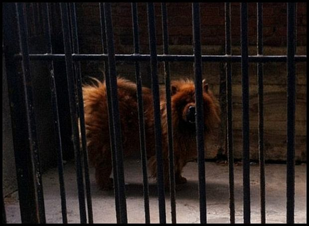 Cash-strapped zoo officials in central China have apologised after they tried to pass off  a dog as a lion because they couldn't afford the real thing.  Angry visitors to the wildlife park in Luohe, Henan province, protested when they found several of their star exhibits weren't all they were supposed to be.  Baffled spectators at the lion's cage were astonished when they saw a dog -  a Tibetan mastiff - staring out at them instead of the king of the jungle.
