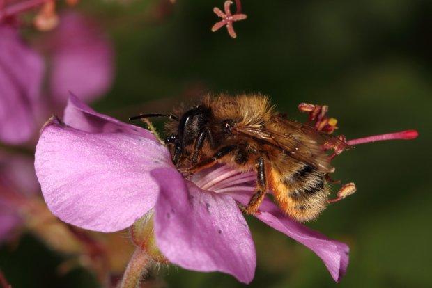 Murarka ogrodowa (Osmia rufa) to jedna z pszczol samotnic. Ten gatunek zyje rowniez w koloniach.